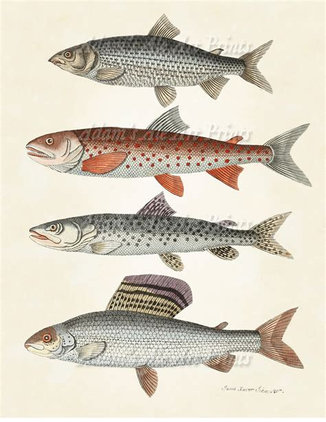 printable fish poster vintage scientific illustration art print by