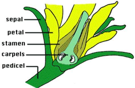 tomato flower diagram tomato reproduction