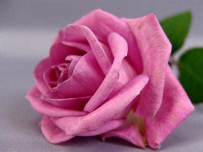 imagenes de rosas por cumpleaños el sentido del saber el significado de las rosas por su