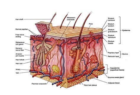 co receptivo de la piel hongos o dermatofitosis en la piel de la mascota el