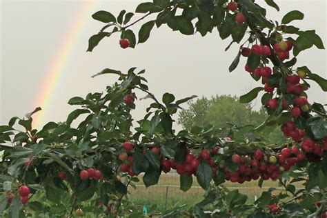 cherry tree range growing cherries on the colorado front range csmonitor