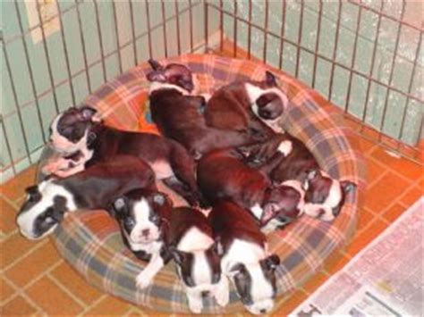 boston terrier puppies for sale in oregon boston terrier puppies in oregon