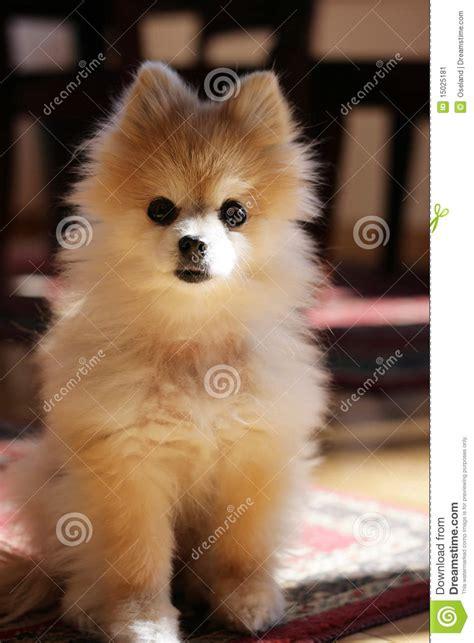 Tiny Plans by Cute Pomeranian Dog Stock Image Image 15025181