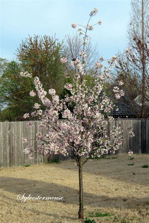 33 cherry tree best 25 yoshino cherry tree ideas on flowering cherry tree white blossom tree and