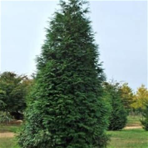 green arborvitae tree at the home depot vigorous