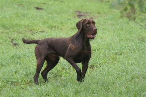 can a hunting dog be a house dog 17 best images about pudelpointer on pinterest poodles best dogs and rare breeds