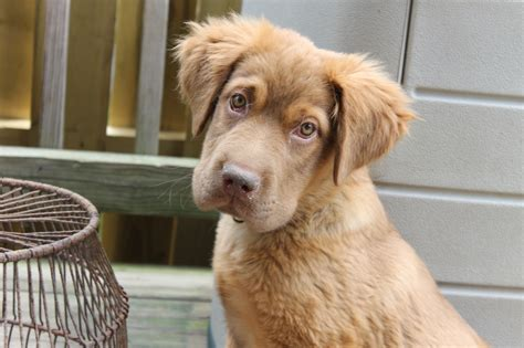golden retriever and chocolate lab chocolate lab and golden retriever breeds picture