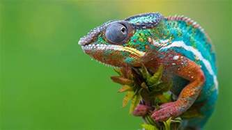 chameleon changing color chameleon wallpapers wallpaper cave
