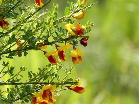 fiore di ginestra il fiore della ginestra fiori piante fiore di ginestra