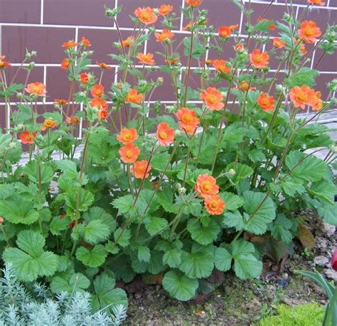 buy geum 6 plant collection plants to plant from plantstoplant