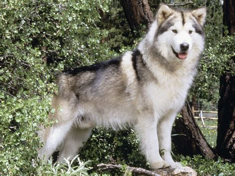 alaskan puppies alaskan malamute wolf page 2 pics about space
