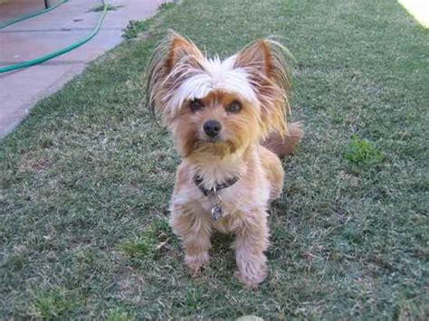 yorkie silky mix haircuts for silky terriers pictures blackhairstylecuts