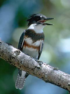 belted kingfisher identification