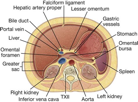 transverse section of the abdomen abdomen basicmedical key