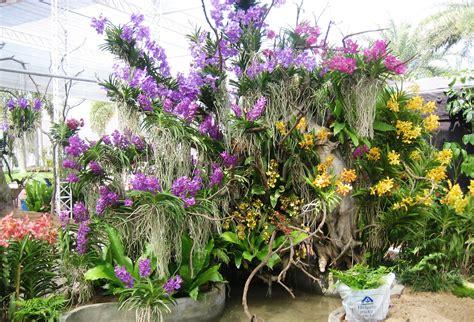 Tanaman Hias Anggrek Tanah Ungu seri tanaman hias thailand negara produsen anggrek