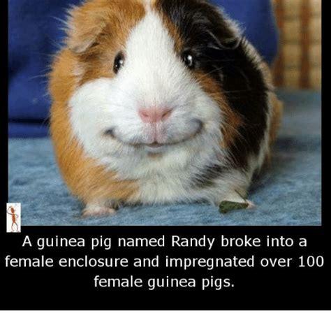 Guinea Pig Meme - funny guinea pigs memes of 2017 on sizzle randi