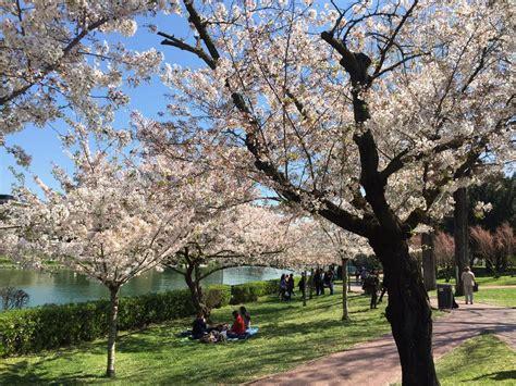 giardino dei ciliegi roma roma 232 hanami mania al lago dell eur arrivano i nuovi