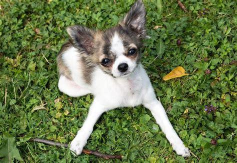 perros peque os de pelo corto razas perros peque 209 os razas y fotos