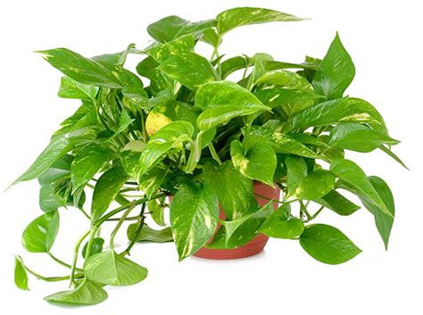houseplants that improve indoor air quality