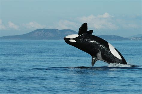 killer whale images of killer whales www pixshark images