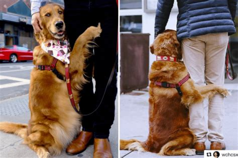 louboutin golden retriever giving free hugs in nyc simplemost