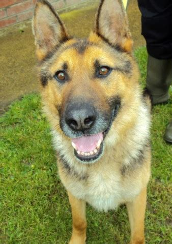 bills dogs bill dogs trust evesham rescue german shepherd dogs and puppies for adoption