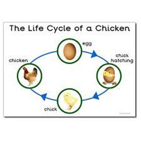 life cycle of a chicken photo cut out free worksheets life cycle of a chicken google search