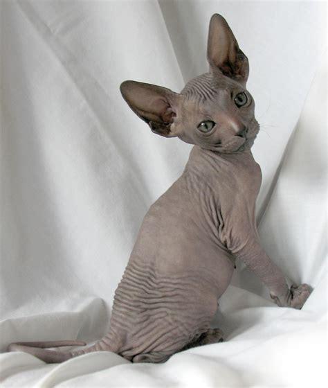 hairless breeds hairless cat breeds