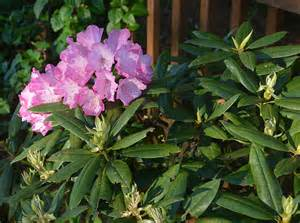 Southgate rhododendron brandi the landscape of us