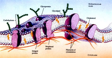 cell membrane labeled diagram organelle pictures