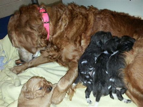 retired show dogs for adoption golden retriever zooborns