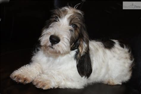 petit basset griffon vendeen puppies for sale petit basset griffon vendeen puppy for sale near sioux city iowa f74b788b a3e1