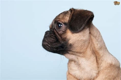 pugs brachycephalic some small brachycephalic breeds pets4homes