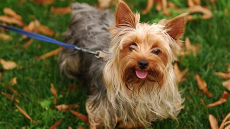 all about yorkies all about terriers monkeysee