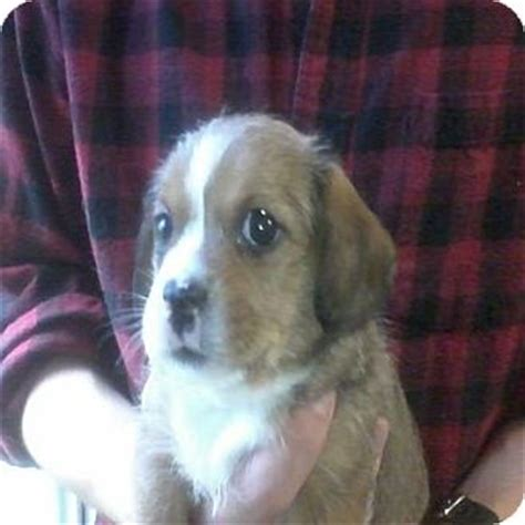 shih tzu hound mix mitch adopted puppy hop bottom pa basset hound shih tzu mix