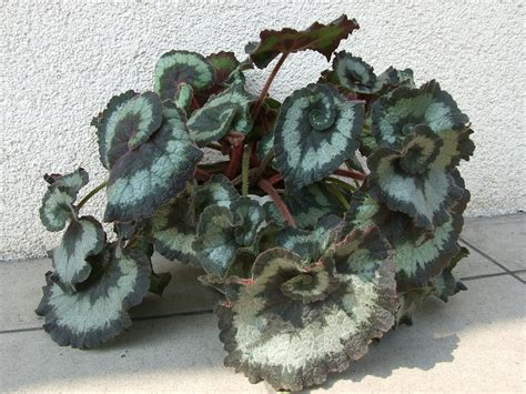 file begonia rex escargot jpg wikimedia commons