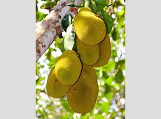 Buy Jackfruit Onile Jackfruit