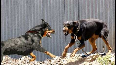rottweiler performance uk rottweiler dogs vs doberman dogs doovi