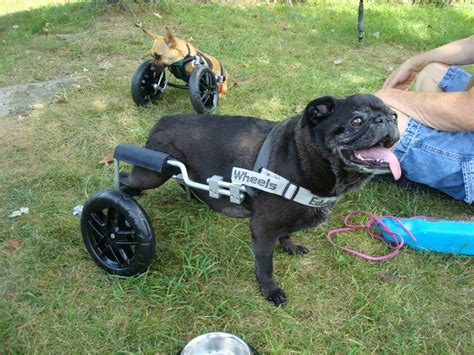 pug in a wheelchair best 25 pug names ideas on pug puppies pugs and black pug puppy