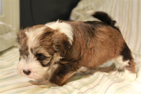 brindle havanese puppies woody havanese puppy gold brindle pied unavailable akc havanese puppies