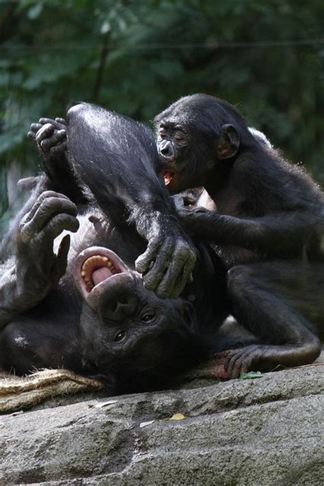 tickle tickle chimpanzees fur babies other non