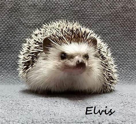hedgehog for sale 1000 ideas about hedgehog for sale on pinterest baby
