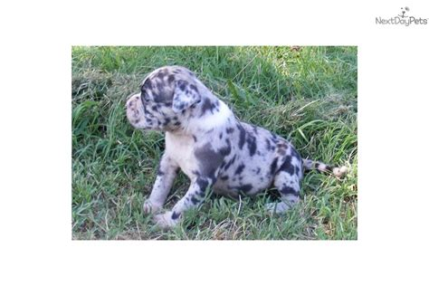 blue merle bulldog puppy meet warden a bulldog puppy for sale for 2 000 blue merle ready to win