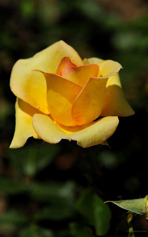 foto hd fiori 1600x2560 fiori sfondi 1600x2560 phablet sfondi hd per