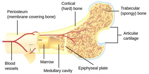 What Does Cross Section by Bone Canaliculus