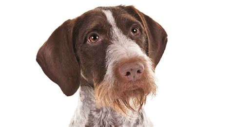german wirehair puppies german wirehaired pointer breed information american