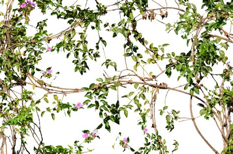Search On Vine Vines Flowers Growing On A Wall Stock Photo 2 Png By Annamae22 On Deviantart