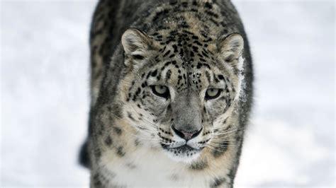 macbook pro 1 1 snow leopard snow leopard expedition snow leopard tour andbeyond