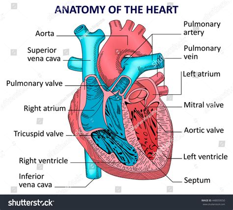 sectional anatomy of the heart human heart anatomy stock illustration 448059550