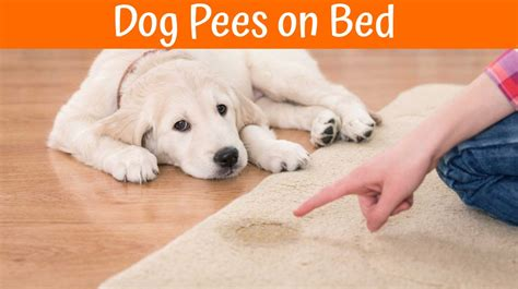 guide to understand why dog pees on bed us bones